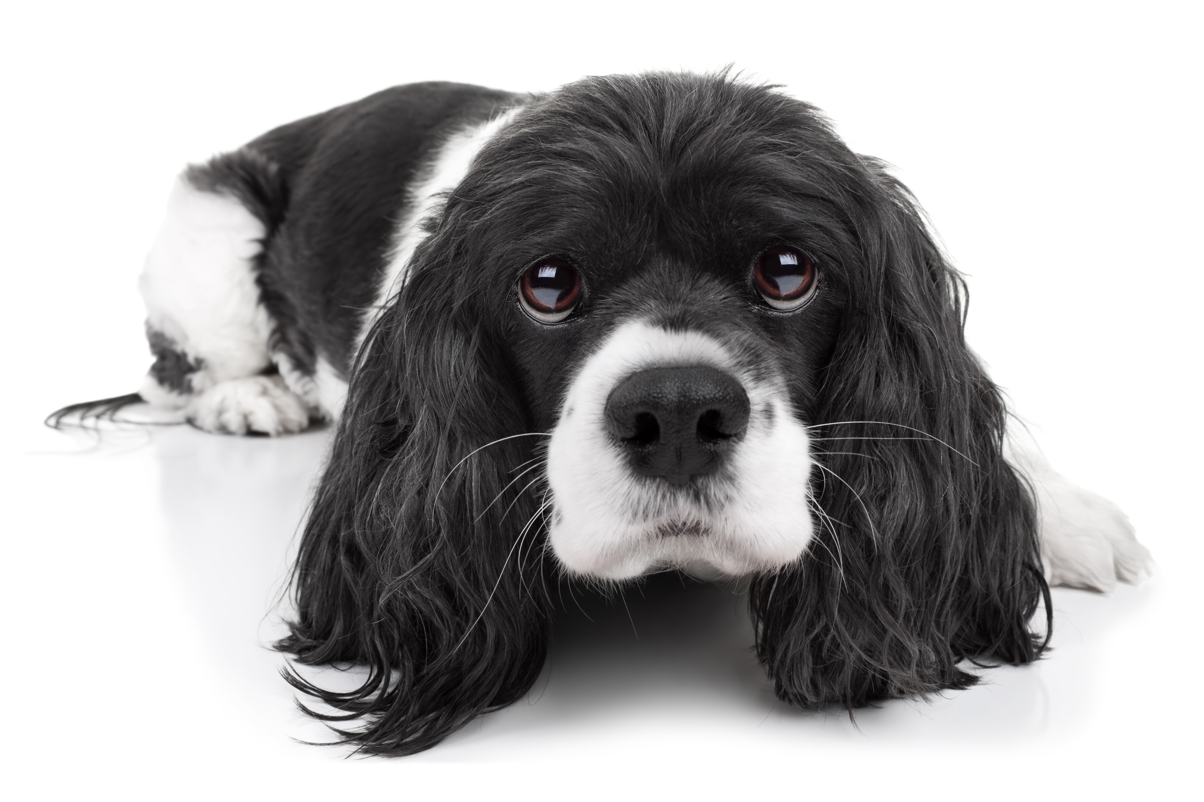 Cavalier King Charles Spaniel Dog Isolated